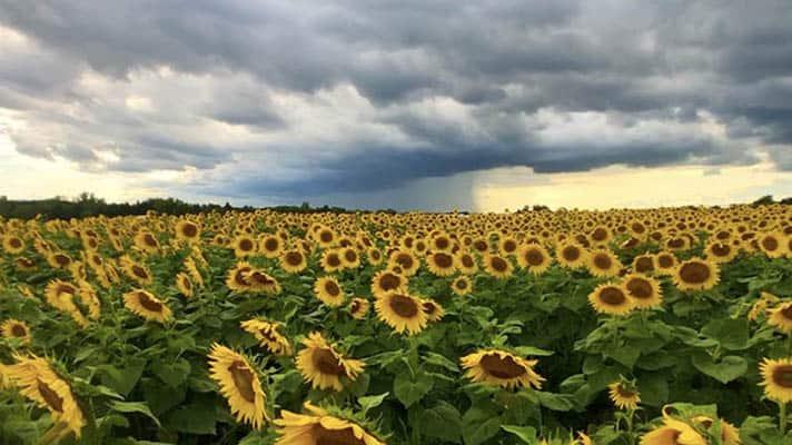Sunflower-timelapse