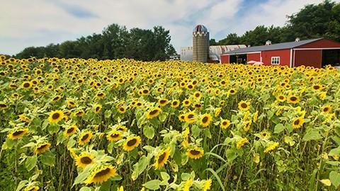 sunflowers-field